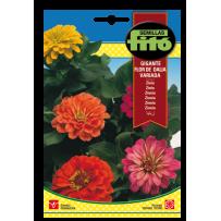 Zinnia gigante Flor de Dalia, variada